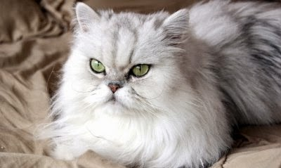 merawat-bulu-kucing-persia_32564