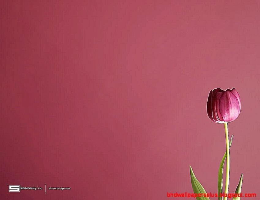 Tulip Wallpaper 15935 Hd Wallpapers in Flowers
