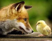Savez-vous à quoi pense ce renard ?