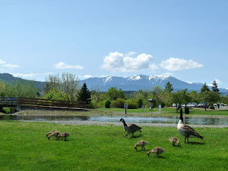 Canadian Geese with their new babies in Carrie Blake Park