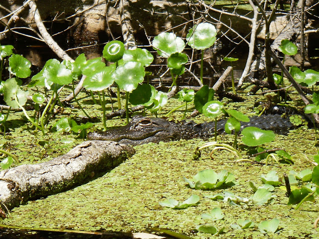 Gator on Wekiva River