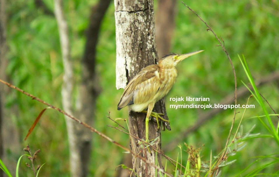 Yellow Bittern in Tampines Eco Green