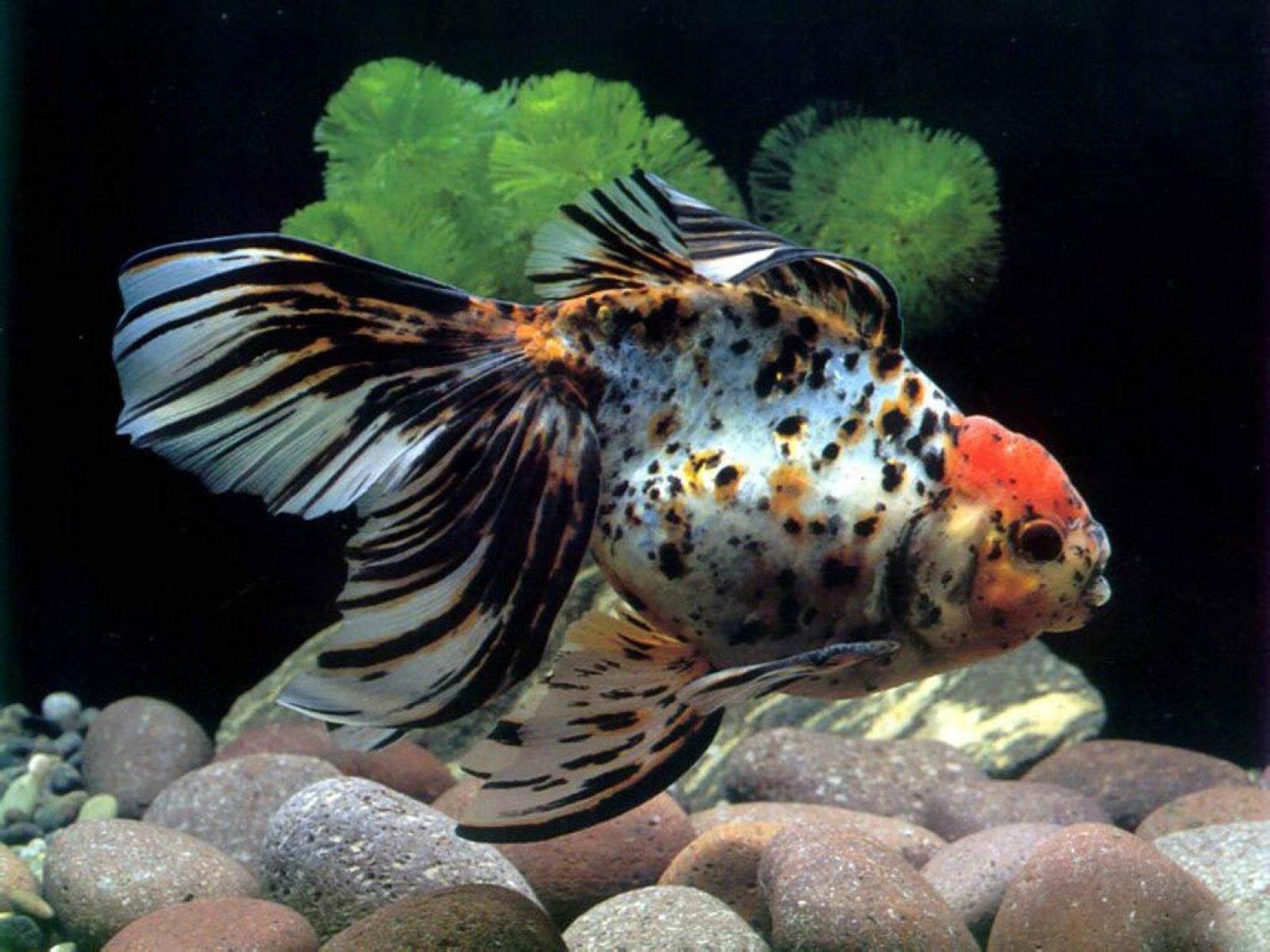 Huge aquarium fish for What kind of fish am i