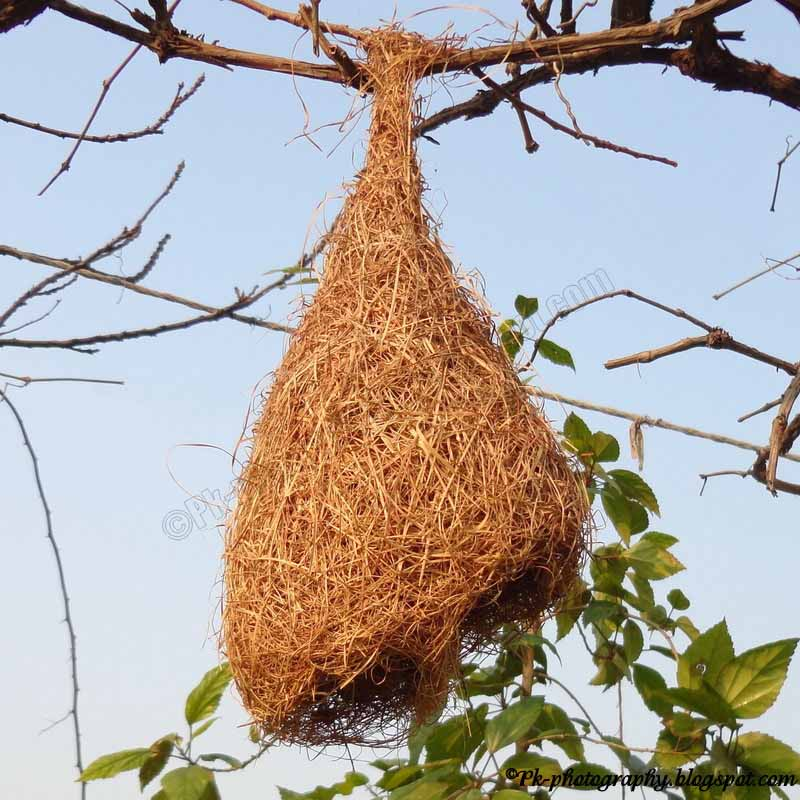 Weaver bird nest pictures - photo#22
