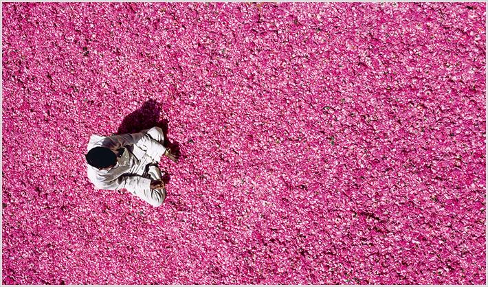 Цвет дамасской розы.