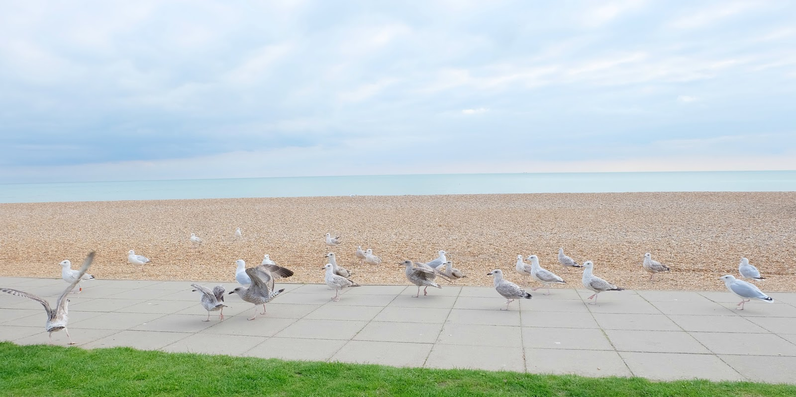 seagulls hastings