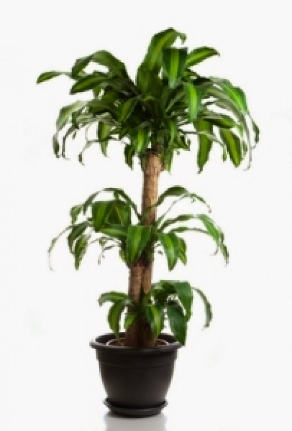 The gallery for tall indoor plant png - Tall house plants ...