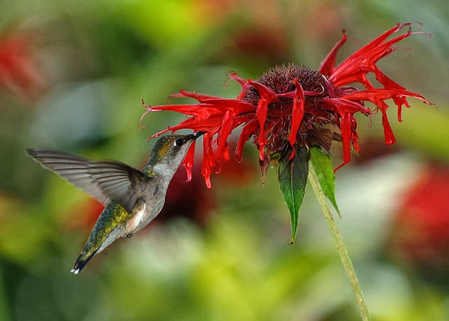 female ruby-throated hummingbird flower