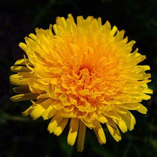 Grow Dandelion