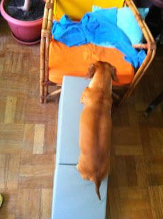dachshunds e sua rampa