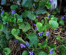 Violets From My Mother's Garden