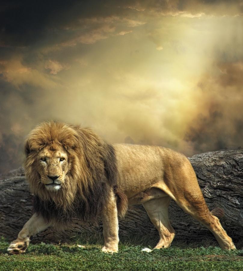 2018 Most Beautiful Lion
