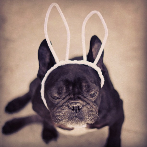 french bulldog, bunny ears