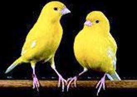 ciri ciri kapas tembak jantan dan betina burung indonesia sebelum