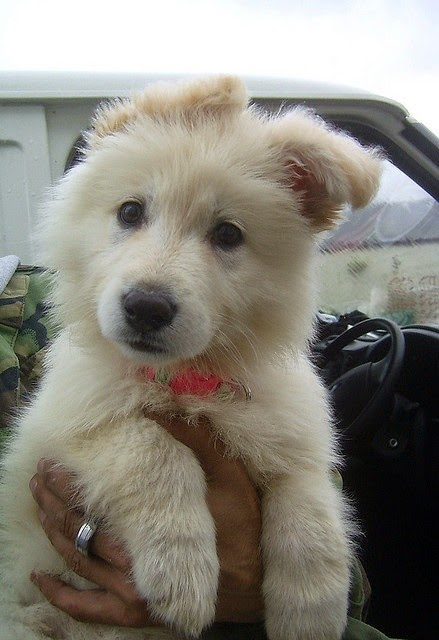 See more German sherpherds http://cutepuppyanddog.blogspot.com/