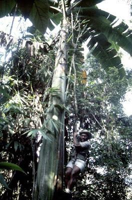 Musa Ingens – Pohon Pisang Terbesar di Dunia Asli Papua