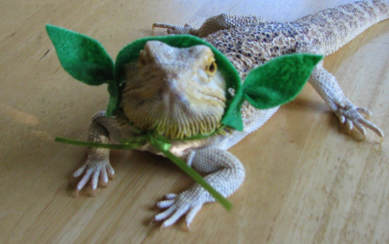 how to prepare squash for bearded dragons