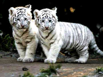 White Royal Bengal Tiger Picture myclipta