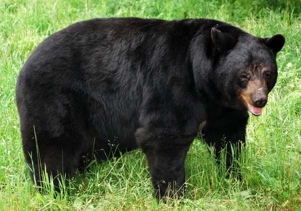 American Black Bear Habitat In Natural Trap Caves ...