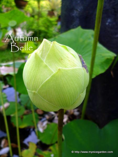 My nice garden nelumbo nucifera the sacred lotus scientific name nelumbo nucifera mightylinksfo