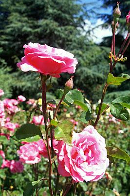 розовые розы... Светке Соколовой