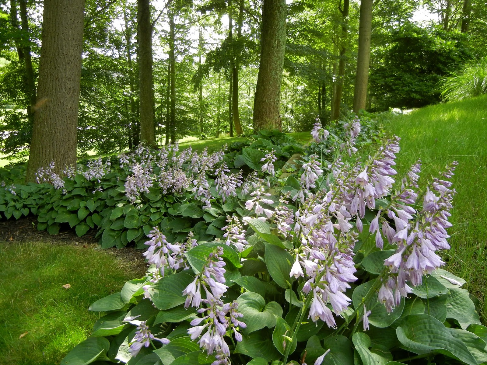 The Front Yard Hostas Are In Bloom. The Only Reason We Get To Enjoy Their  Show Is Husband Now Uses Bobbex Repellent Every 2 Weeks. The Deer Have  Become More ...