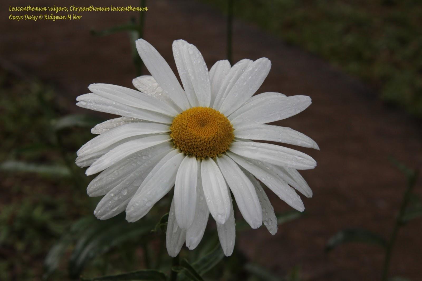 Leucanthemum vulgare chrysanthemum leucanthemum oxeye daisy leucanthemum vulgare chrysanthemum leucanthemum oxeye daisy izmirmasajfo