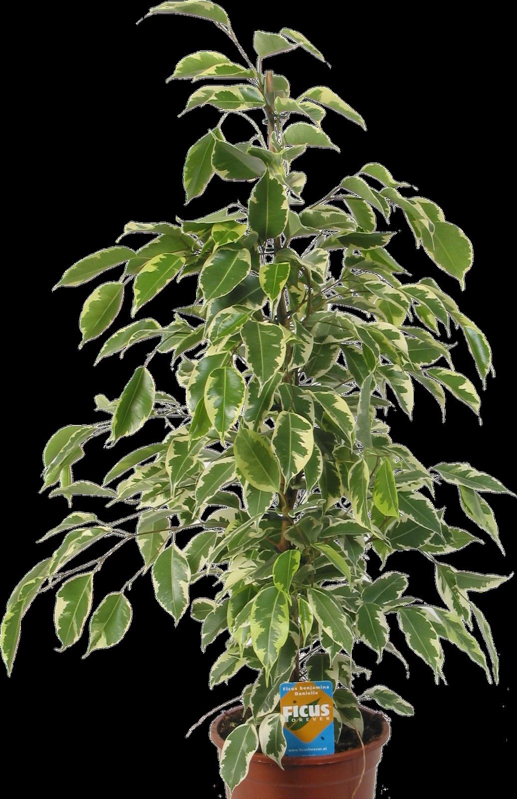 Кімнатні рослини: Фікус, або Фігове дерево (Ficus)