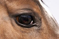 l'aoés et les chevaux