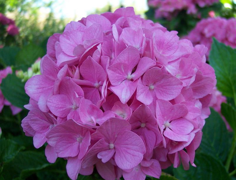 im genes de flores y plantas hortensias
