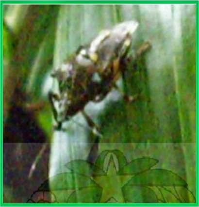Imago E. furcellata