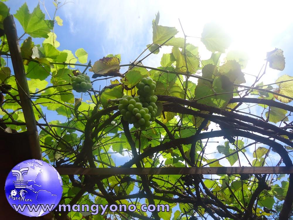 Tanaman peneduh dengan pergola anggur