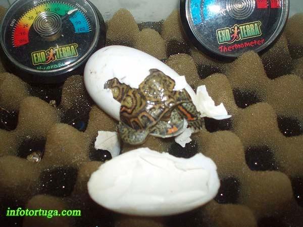 Rhinoclemmys pulcherrima saliendo del huevo