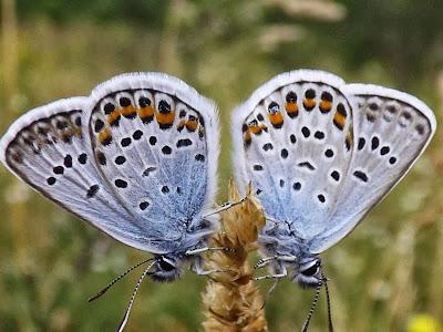 Tierfotos - Schmetterlinge - Bläulinge