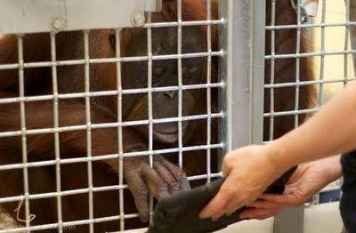 orangután ipad