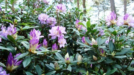 rododendrons snoeien