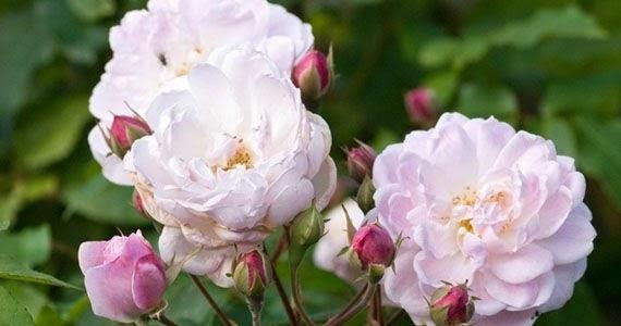 Arte y jardiner a rosales noisette for Jardineria rosales