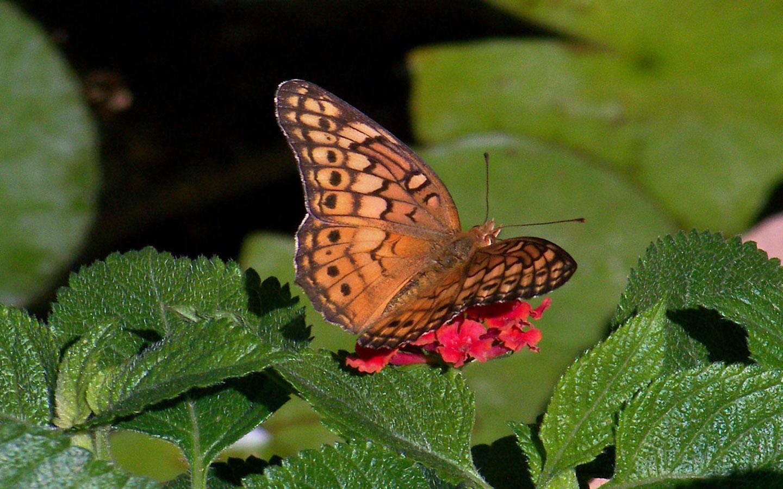 http://1.bp.blogspot.com/-th-A1Oc-81o/UHr2FD4GLxI/AAAAAAAAIDM/tEpSZutgV84/s1600/Brown-Butterfly-On-Lantana-Widescreen-Wallpaper.jpg