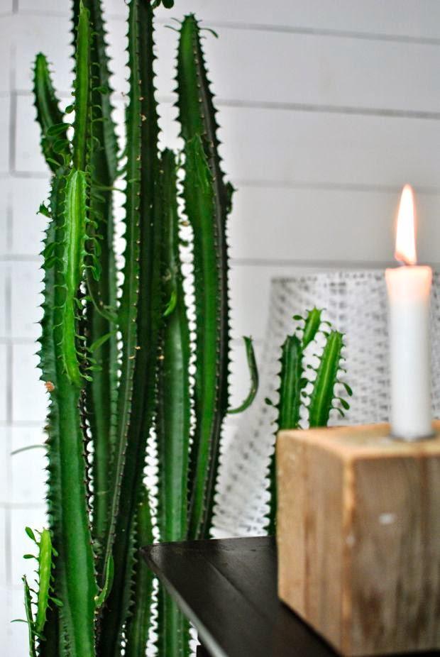 kaktus high chaparral trekantseuforbia