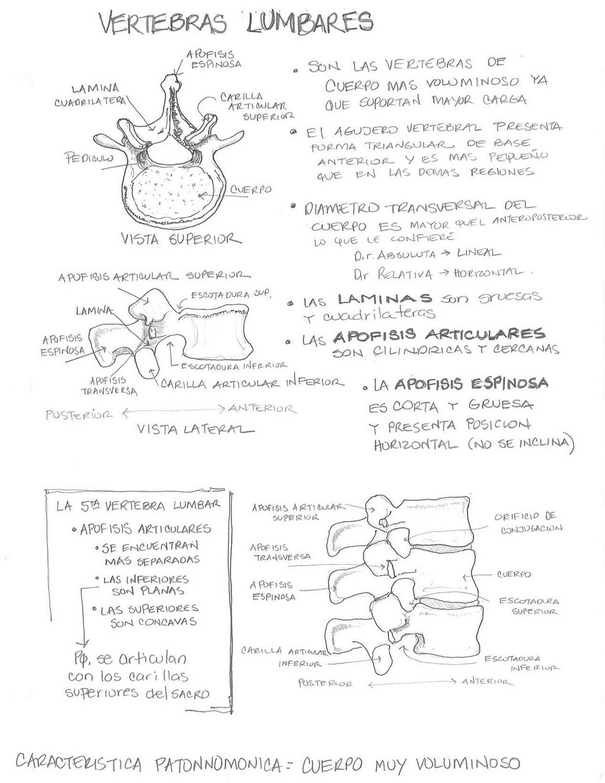 Anatomía Humana... Para Humanos: Sistema Oseo - Vértebras Lumbares