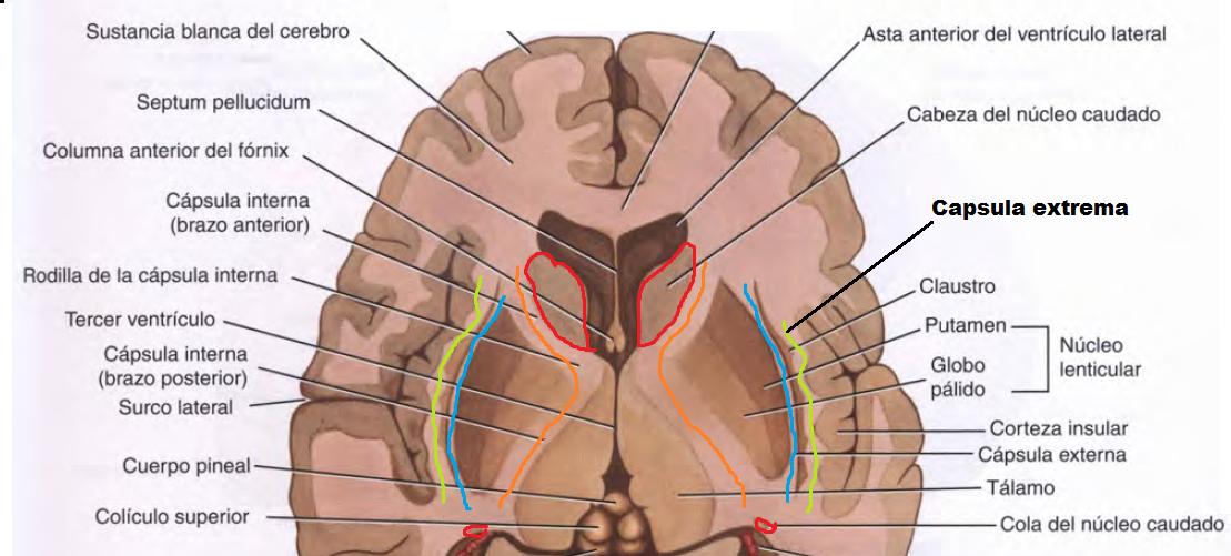MORFOFISIOLOGÍA I: NEUROANATOMÍA