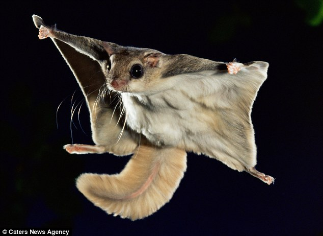 The News For Squirrels: Incredible Flying Squirrel Photos