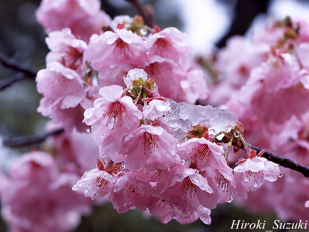 Free Cool Wallpapers cherry blossom flower