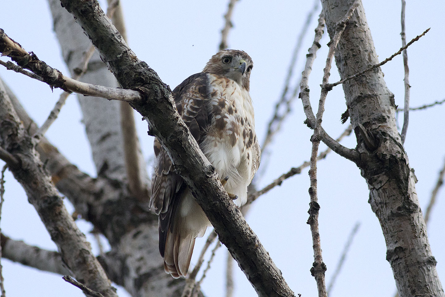 ann brokelman photography backyard birds red tailed hawk