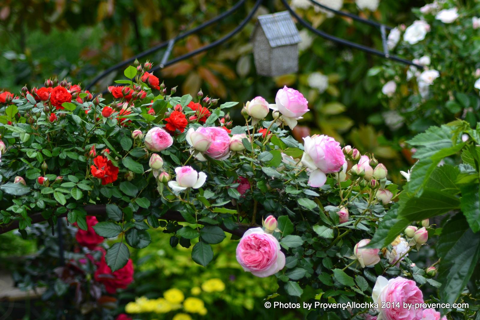 rose grimpant Pierre de Ronsard,arche