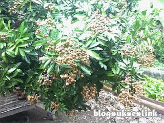 buah kelengkeng2