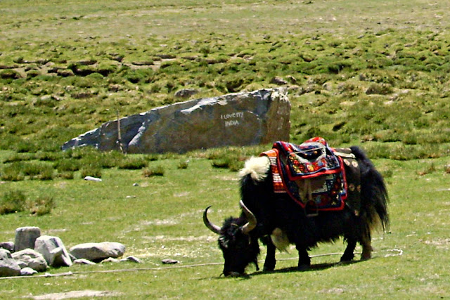 black hairy yak in Ladakh