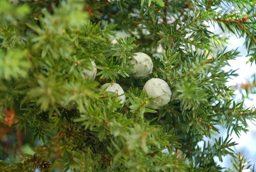 Karanfil ağacı nerelerde yetişir karanfilin faydaları