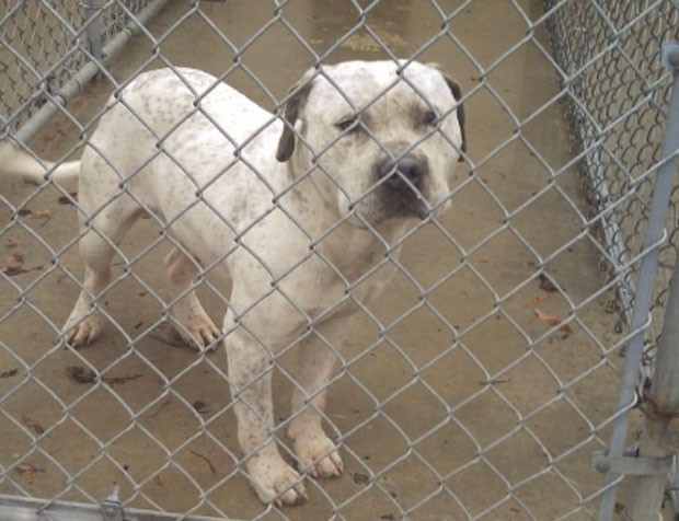 Pitbull seria sacrificado após seu dono abandoná-lo porque cão seria gay (Foto: Divulgação)