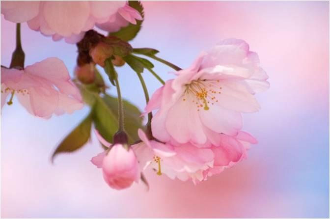 Картинки цветущей сакуры